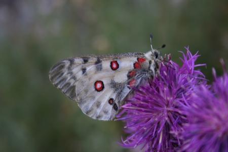 Parnassius apollo (C.) Abele Blanc
