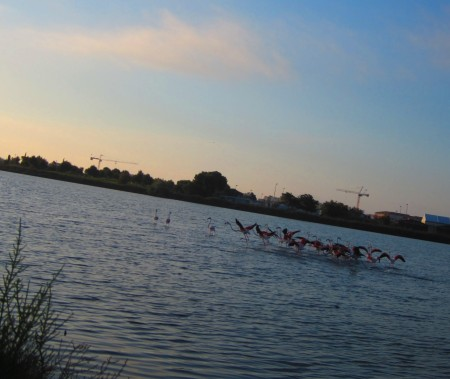 flock of flamingoes taking off [because of my unsubtle approach], Palavas, June 15, 2012