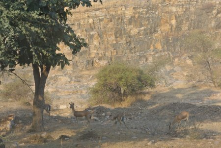 Chinkara gazelles, Ranthambore National Park, Rajasthan, India, Dec. 29, 2012