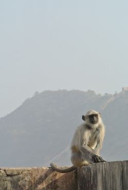 monkey at Amber Fort