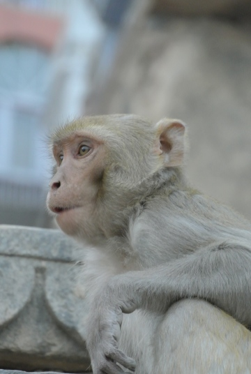 monkey on the steps of Assi Ghat, Varanasi, Uttar Pradesh, Varanasi, Jan. 6, 2013
