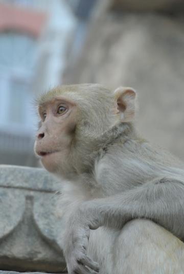 monkey on the steps of Assi Ghat, Varanasi, Uttar Pradesh, Varanasi, Jan. 6, 2013
