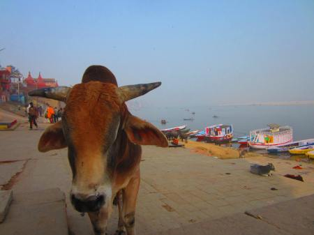 cow (with TB?) on one of the ghats, Varanasi, Uttar Pradesh, Jan. 6, 2013