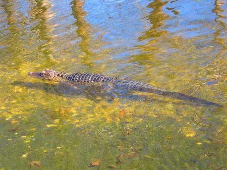 alligator in Lake Alice, Gainesville, Florida, Jan. 19, 2013