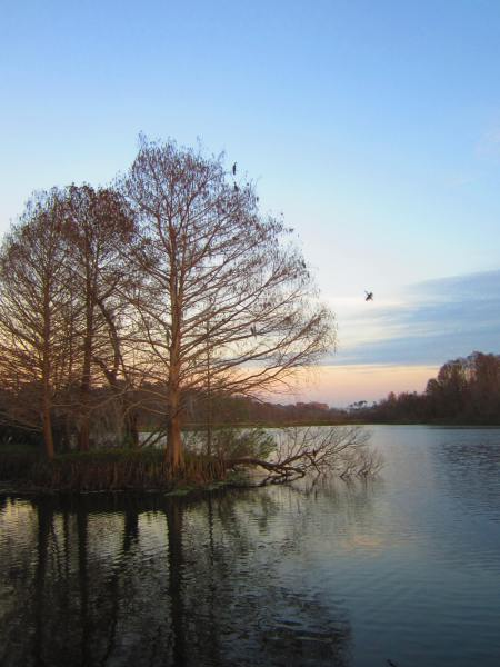 """the"" cormorant tree, sunset, Lake Alice, Gainesville, Florida, Jan. 19, 2013"