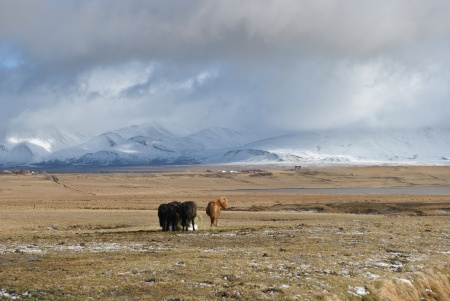 a bunch of Icelandic horses on the Ringroad, gathered against the wind, near Akranes, Apr. 20, 2014 (c.) Rachel Robert