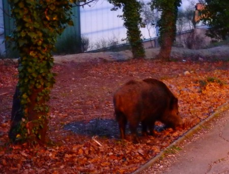 a foraging boar a few metres away from CIRM, not even bothered by my presence, Marseille, March 04, 2016